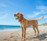 Fit and strong Labrador retriever on a beach playing games stock photography
