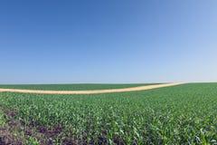 Fita amarela no campo de milho. Imagem de Stock