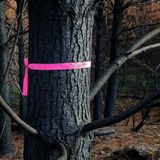 Fita cor-de-rosa amarrada a um pinheiro queimado e carbonizado, Nova Zelândia fotos de stock