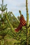 Fita de St George amarrada na árvore de abeto no conceito da floresta Foto de Stock