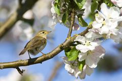 Fitis, Willow Warbler, Phylloscopus trochilus royalty free stock photography