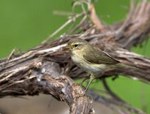 Fitis Willow Warbler; Phylloscopustrochilus arkivfoto