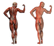 Fitness anatomy Stock Photos