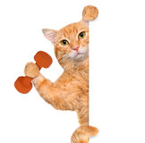 Fitness cat lifting a dumbbell behind a white banner. Stock Photos