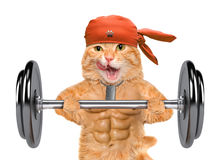 Fitness cat lifting a heavy big dumbbell. Royalty Free Stock Images