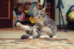 Fitness cat sitting and to do exercise Stock Photography