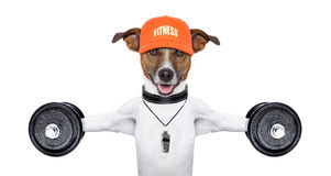 Fitness dog. Personal  trainer dog with dumbbells and a whistle Royalty Free Stock Image