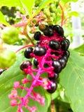Fitolacca Berry Cluster sul ramo rosa fotografia stock