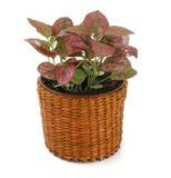 Fitonia della pianta ornamentale Fotografia Stock Libera da Diritti