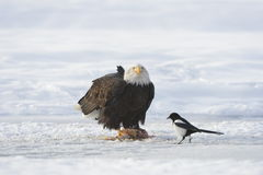 Fitting Bald Eagle and magpie Royalty Free Stock Images