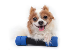 Fittness dog. Chihuahua dog with dumbbell on white background Royalty Free Stock Photography