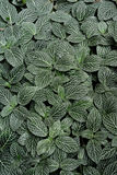 Fittonia植物叶子 免版税库存照片