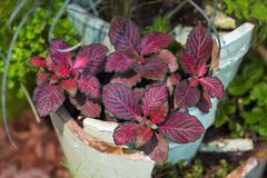 Fittonia, 'planta del nervio ', albivenis de Fittonia La tonalidad roja deja el arbusto foto de archivo