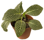 Fittonia. Stock Images