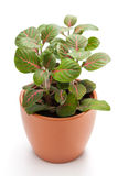 Fittonia Stock Image