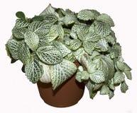 Fittonia albivenis室内植物 免版税库存图片