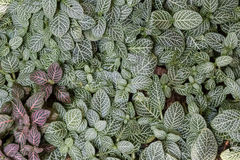 Fittonia albivenis or fittonia verschaffeltii. Royalty Free Stock Photography
