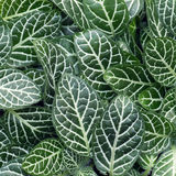 Fittonia Albivenis ground cover plant Stock Photography