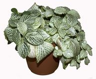 Fittonia albivenis houseplant Royalty Free Stock Images
