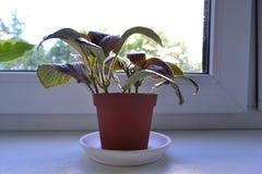 Fittonia auf dem Fenster Lizenzfreie Stockbilder