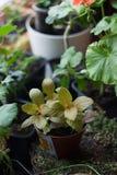 Fittonia autoguident l'usine dans le pot de fleur arrondi avec les usines à la maison Images stock