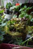 Fittonia autoguident l'usine dans le pot de fleur arrondi avec les usines à la maison Photos stock