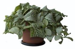 Fittonia in een bloempot Royalty-vrije Stock Fotografie