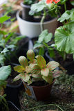 Fittonia home plant in flower pot rounded with home plants. Stock Images