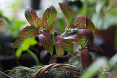 Fittonia home plant in flower pot rounded with home plants. Royalty Free Stock Photography