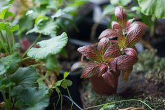 Fittonia home plant in flower pot rounded with home plants. Royalty Free Stock Photos