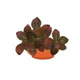 Fittonia med röda sidor i en kruka Royaltyfri Bild