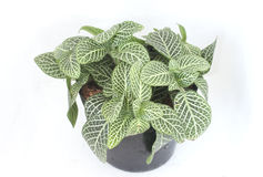 Fittonia Royalty Free Stock Photos