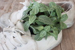 Fittonia and old shoes Royalty Free Stock Photo
