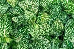 Fittonia pflanzt coloseup Lizenzfreies Stockfoto