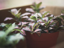 Fittonia potted plants basking in the sun Royalty Free Stock Photo