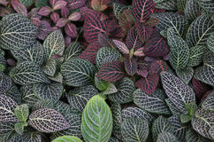 Fittonia tropical leaves. Fittonia tropical many leaves macro photo background Royalty Free Stock Photos