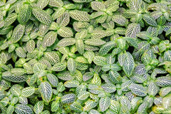 Fittonia verschaffeltii Royalty Free Stock Image