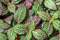 Fittonia verschaffeltii (fittonia argyroneura) nerve plant leave Stock Image