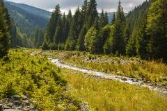 fiume che attraversa un'abetaia Fotografia Stock