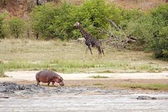 Fiume con l'ippopotamo e la giraffa Fotografia Stock
