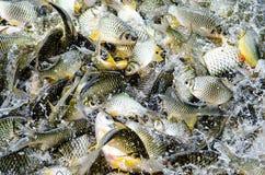 Fiume del pesce Immagini Stock Libere da Diritti