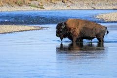 Fiume dell'incrocio del bisonte in Lamar Valley, parco nazionale di Yellowstone fotografia stock libera da diritti