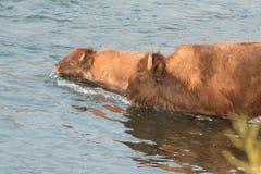 Fiume dell'incrocio della Buffalo Fotografia Stock