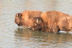 Fiume dell'incrocio della Buffalo Immagine Stock Libera da Diritti
