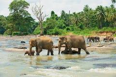 Fiume dell'incrocio della famiglia dell'elefante in Pinnawala, Sri Lanka Immagine Stock