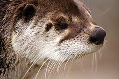 fiume della lontra Immagini Stock