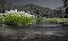 Fiume di Cahaba con i gigli In bianco e nero con il giglio a colori Fotografia Stock