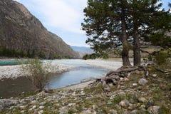 Fiume di Katun Paesaggio di Altai della montagna La Russia Fotografia Stock