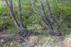Fiume di tema, alberi strani dei tronchi immagini stock libere da diritti