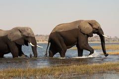 fiume maschio del chobe dell'incrocio dei due elefanti Immagine Stock
